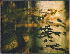 Shadow Leaves (Bastiank80) Tags: bastiank fuji fp100c45 largeformat ebony shadow leaves woods forest trees schachten love artlibres