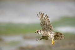Peregrine Falcon (skees499 ) Tags: slechtvalk keesmolenaar birdofprey roofvogel holland zeeland nikon d800 ngc netherlands birding bif falcoperegrinus inexplore explored