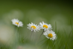 Madeliefjes - Daisies (de_frakke) Tags: daisies madeliefjes bloem flower wild wit white