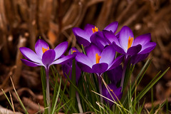 Crocuses Through a Long Lens 4 (LongInt57) Tags: crocus flower blossom bloom petals stamens stigma pistil leaf leaves bulb spring pink purple yellow orange red green brown nature garden kelowna bc canada okanagan