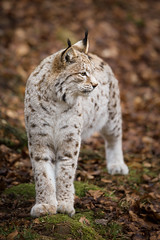 lynx (Jenny Theobald (nature)) Tags: lynxlynx eurasianlynx eurasischerluchs captive germany nature outdoor mammals lynx cat felidae winter
