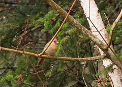 Cardinal (MichikoSonja) Tags: bird cardinal