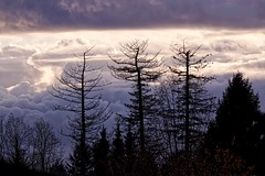 Down the Way (robinlamb1) Tags: nature tree outdoor trees douglasfir aldergrove clouds dusk