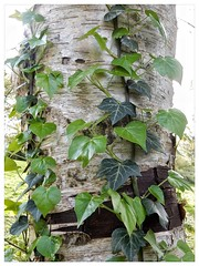 Ivy and Birch (foggyray90) Tags: parasite leaves bark silverbirch ivy