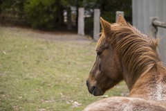 Pony (Trent Crawford) Tags: pony horse animal big brown beast beautiful majestic creature
