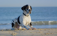 Please throw the ball, please throw the ball... (Supervliegzus) Tags: greatdane pet puppy beach harlequin nikon nature netherlands spring dog d7100
