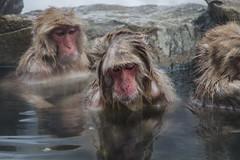 Nagano - Jigokudani - 13 (coopertje) Tags: japan nagano snowmonkey monkey jigokudanimonkeypark jigokudanijaenkoen sneeuw snow sneeuwmakaak macaque japanesemacaque cold onsen hottub hotspring water