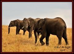 HERD OF AFRICAN ELEPHANTS  (Loxodonta africana)....MASAI MARA....SEPT 2016 (M Z Malik) Tags: nikon d3x 200400mm14afs kenya africa safari wildlife masaimara keekoroklodge exoticafricanwildlife elephants
