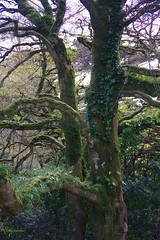 IMG30187a_C (Kernowfile) Tags: glendurgangarden plants trees flowers