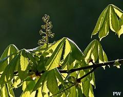 Kastanien, Blütenstand im Gegenlicht (peterphot) Tags: trees bäume kastanien blätter sony tamron600 april schilfteich sachsen chestnut