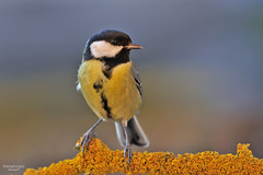 Cinciallegra (ape maya77) Tags: cinciallegra bird colors nikon d300s 300f4 uccello passeriforme