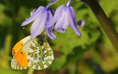 Orange Tip 080417 (Richard Collier - Wildlife and Travel Photography) Tags: wildlife naturalhistory insects butterflies british macro closeup orangetip naturethroughthelens