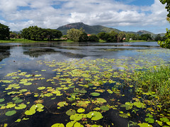 Ross River, Townsville (gifas) Tags: townsville queensland waterlillies