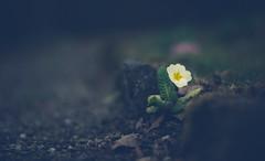 Breakthrough (marcmayer) Tags: natur nature flower blume dof depth field bokeh nikon nikkor d5200 50mm f18 pov edge spring frühling way