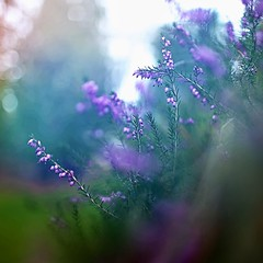 (coral staley-hall) Tags: flowers heather purple bokeh dof shallowdof canon 6d 35l 14l 35mm fullframe squareformat colorful nature
