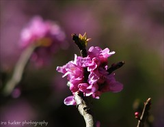 One out of three hundred and twelve Americans is a bore... and a healthy male adult bore.... (itucker, thanks for 2.9+ million views!) Tags: macro bokeh pink cercis redbud dukegardens