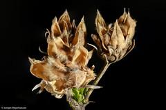 "Macro Monday - ""Member's Choice: Seeds"" (explored 16.4.17) (J.Weyerhäuser) Tags: gelb macromonday hmm studio blitz memberschoiceseeds samen kapsel seed"