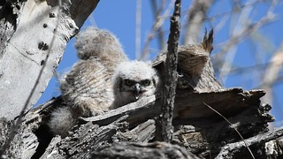 Great Horned Owls Video5