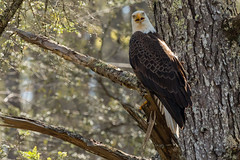 Bald Eagle-5 (Mr. Low Notes) Tags: 70d bird eagle baldeagle trees baldriver tn woods wildlife outdoors