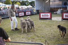 Sheepdog show (Ian Thomas Ackerman) Tags: dog sheep man hat sunglasses microphone mic sheepdog herding herd show sydney easter chase run shepherd fence audience