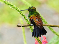 Copper-rumped Hummingbird / Amazilia tobac, Trinidad (annkelliott) Tags: trinidad island caribbean west indies asawrightnaturecentre nature ornithology avian bird birds hummingbird copperrumpedhummingbird amaziliatobac sexessimilar backsideview perched branch plant pink flower bokeh closeup frontsideview rainforest outdoor 16march2017 fz200 fz2004 annkelliott anneelliott ©anneelliott2017 ©allrightsreserved