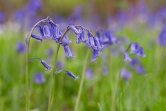 Numerous beautiful hues (sagesolar) Tags: bluebells bluebellflowers flowers blue blueflowers bells green nature soft beautiful colourful colorful spring springsetting sussex england countryside floral depthoffield purple softbackground 50mm