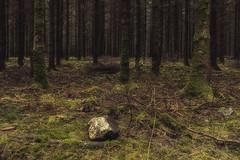 Forêts de sapins des Ardennes belges (Claudio Nichele (@jihan65)) Tags: sapin forêt pluie forest rain walk walking hike hiking marche solitude pine stone caillou rocher woods tree
