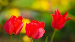 Duet (Karsten Gieselmann) Tags: 75mmf18 blumen blüten bokeh dof em5markii farbe frühling gelb grün jahreszeiten mzuiko microfourthirds natur olympus pflanzen rot schärfentiefe tulpe blossom color flower green kgiesel m43 mft nature red seasons spring tulip yellow