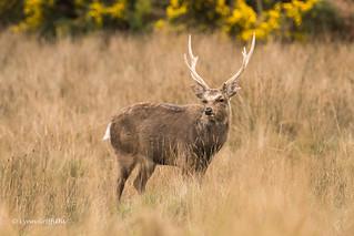 Sika Deer Stag D50_7954.jpg
