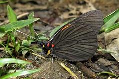 Pereute leucodrosime (Camerar) Tags: pereuteleucodrosime peru pieridae butterflies butterfly insect