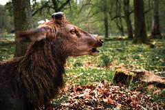 NoAntlersNoMore (Marc R. A.) Tags: loxia235 a7r2 deer animal wildlife woods