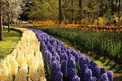 Keukenhof (TeunisHaveman) Tags: garden tulp keukenhof flower bloemen hyacinth tuin park bollen lisse zuidholland