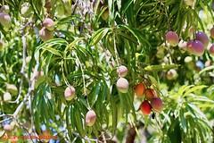 Mango Season in El Salvador (ssspnnn) Tags: elsalvador spnunes snunes nunes spereiranunes canoneos70d mangiferaindica mango anacardiaceae anacardiacea mangas manga fruta