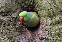 Ring Necked Parakeet (queeny63) Tags: elements