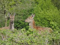 Red deer (deannewildsmith) Tags: chasewater staffordshire deer reddeer animal