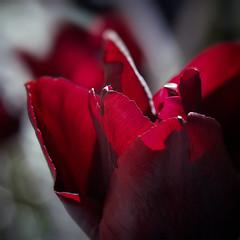 Red Light (macplatti) Tags: tulip tulpe black red schwarz rot flora fruehling springtime garden garten sharp dof schaerfentiefe depthoffield koblach vorarlberg austria