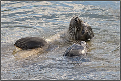 Romantic Harbour Seals (image 1 of 3) (Full Moon Images) Tags: houghton mill nt national trust river great ouse cambridgeshire animal mammal common harbour seal romantic courting