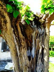 DSC07103 (omirou56) Tags: 43ratio sonydscwx500 tree nature natur natura aitoloakarnania greece hellas ελλαδα αιτωλοακαρνανια φυση δεντρο κορμοσ