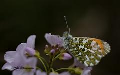 Oranjetipje (jeannette.dejong) Tags: gelderland oranje oranjetipje bruin groen roze wit ngc naturelovers nederland
