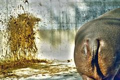 the (f)artist and his (f)art (blaisedeux) Tags: hippo hippopotamus crap bottom bladder zoo artist art outdoor nikon d5200