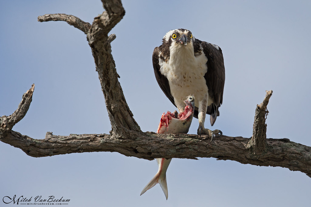 Osprey With Breakfast (Male)