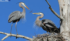 Bringing home a little something for the Mrs. (Shannon Rose O'Shea) Tags: shannonroseoshea shannonosheawildlifephotography shannonoshea shannon greatblueheron heron bird birds nature wildlife waterfowl flickr wwwflickrcomphotosshannonroseoshea circlebbarreserve lakeland florida branch nest tree bluesky blue beak feathers skinnylegs birdyfeet twigs canon canoneos80d canon80d eos80d 80d canon100400mm14556lisiiusm outdoors outdoor fauna colorful