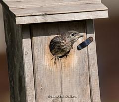 Fledging bluebird ... (Lindell Dillon) Tags: easternbluebird sialis bird babybluebird nature oklahoma lindelldillon