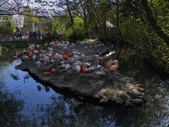 Flamingo-Insel (Helmut Reichelt) Tags: flamingo insel flamingos spiegelung april frühling münchen zoo tierpark hellabrunn oberbayern bavaria deutschland germany panasonic lumix fz200 captureone10 colorefexpro4