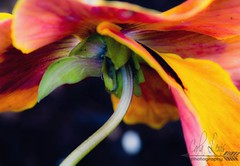 A bit of a pansy (Spruceroots) Tags: gardening colorful bright perspective macro flower pansy