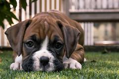 Play time (Felix Vila) Tags: boxer puppy dog cachorro perro pet
