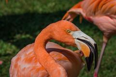 Flamingo [explored] (MikeDalePhotos..... 500,000 + views ==> Thank you) Tags: explore mike dale photos michael florida sarasota pink bird 1001nightsmagiccity