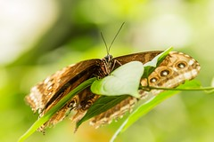 Rest (Future-Echoes) Tags: 4star 2014 antenna bokeh butterfly depthoffield dof essex insect leaf tropicalwings