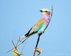 Lilac-breasted Roller, Coracias caudatus, Hwange National Park, Zimbabwe (Jeremy Smith Photography) Tags: jeremysmithphotography beauty colour coraciascaudatus hwangenationalpark jeremysmith jeremysmithphotographycouk lilacbreastedroller zimbabwe