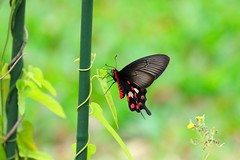 Butterfly (mikleyu) Tags: butterfly animal insect nature